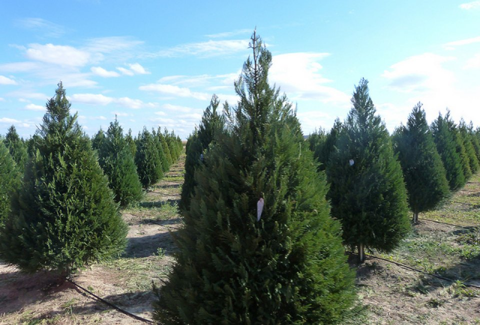 5 houston area farms for cutting your own christmas tree - Cut Your Own Christmas Tree Farm