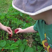 Things to do with kids: 13 Pick-Your-Own Strawberry Farms and 3 Strawberry Festivals Near NYC
