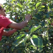 Things to do with kids: Apple Picking Near Boston with Kids: Pick Your Own Fun!