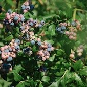 Things to do with kids: Blueberry Picking in Eastern Connecticut