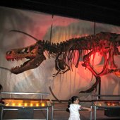 Things to do with kids: Cool New Museum Exhibit for Kids:  A T. rex Named Sue