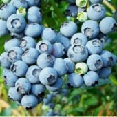 Things to do with kids: Blueberry Picking in Connecticut: Pick Your Own Farms
