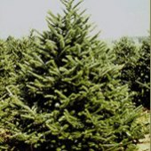 Things to do with kids: Christmas Tree Farms in Fairfield County