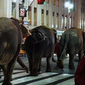 Things to do with kids: Circus Elephants Walk Across Manhattan March 22, 2010