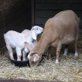 Things to do with kids: Meet the New Baby Goats at the Central Park Zoo