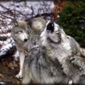 Things to do with kids: Great Day Trips in NJ: Lakota Wolf Preserve