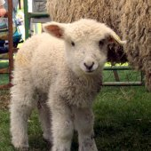 Things to do with kids: Sheepshearing & Wool Festivals in New England