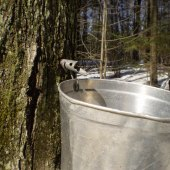 Things to do with kids: Maple Sugaring Fun for Westchester Kids