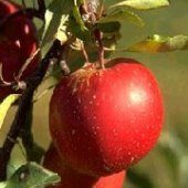 "Things to do with kids: Organic Apple Picking in NJ? Where to Find ""Low-Spray"" Apple Farms in the Garden State"