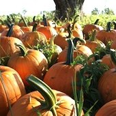Things to do with kids: Pumpkin Patches in Eastern CT