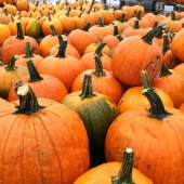 Things to do with kids: Pumpkin Picking Places for Boston Families