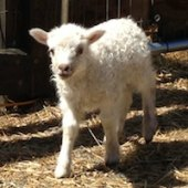 Things to do with kids: Springtime Visits to Baby Farm Animals in Fairfield County, CT