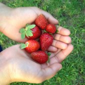 Things to do with kids: Strawberry Festivals Around Boston This Summer