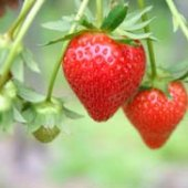 Things to do with kids: Strawberry Picking Season in Hartford County Connecticut