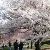 Things to do with kids: Cherry Blossom Festival in Essex County's Branch Brook Park