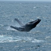 Things to do with kids: NYC Whale Watching for Kids: Where to See Dolphins and Whales in and Around New York City