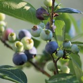 Things to do with kids: Where to Pick Blueberries with Kids in the Boston Area