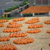 Things to do with kids: Pumpkin Patches and Corn Mazes in New Haven County