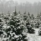 Things to do with kids: Cut Your Own Christmas Tree Farms in New Jersey